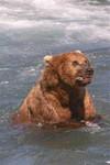 Bear2_1